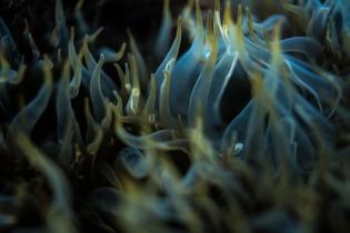 Fiamme blu - Anemoni di mare