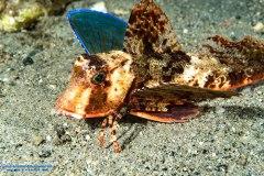 Dactylopterus volitans - Pesce civetta - Reggio Calabria