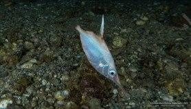 Macroramphosus scolopax - Pesce trombetta di Reggio Calabria